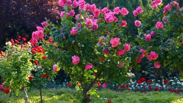 玫瑰月季蔷薇花怎么区别