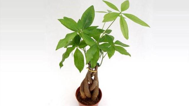 发财树在家中怎么摆放