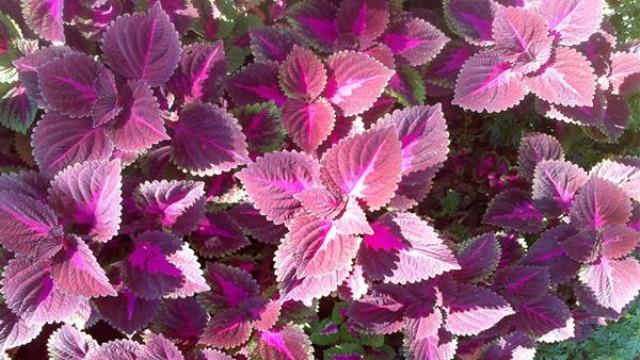 阳台紫苏的种植方法