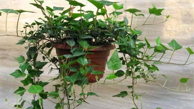 哪些植物适合扦插