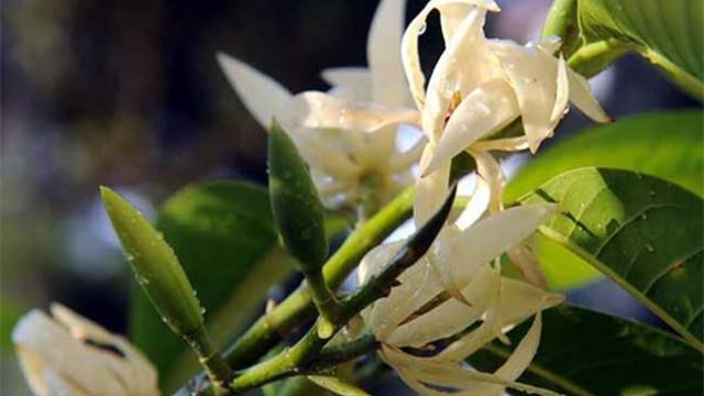 白兰花怎么繁殖