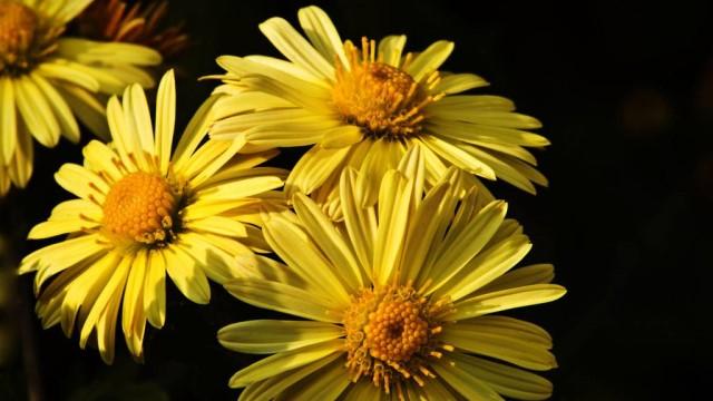 菊花有哪些品种