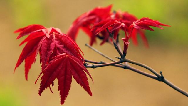 日本红枫盆景怎么养