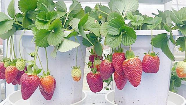 盆栽草莓怎么施肥
