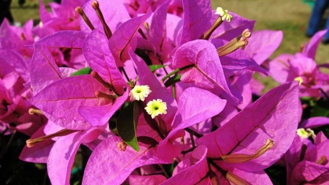 叶子花的养殖方法