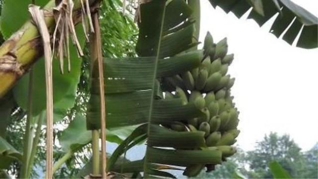 芭蕉树怎么养