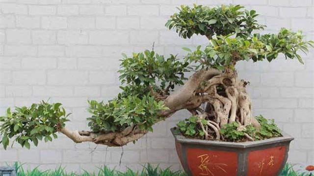 榕树盆景的浇水技巧