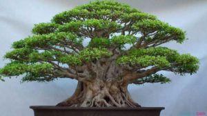 榕树种植资料简介