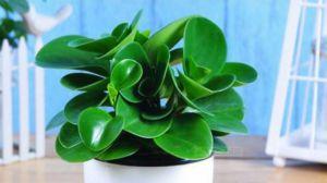 大叶绿萝能水养吗_豆瓣绿的养殖方法 - 花百科
