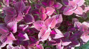 紫苏种植资料简介