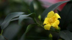 法��香水花