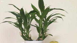 水养富贵竹用什么肥