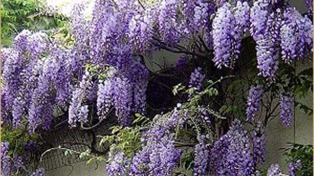 多花紫藤的养殖方法