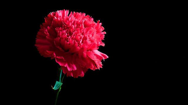 康乃馨什么时候开花