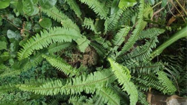 蜈蚣草的功效与作用
