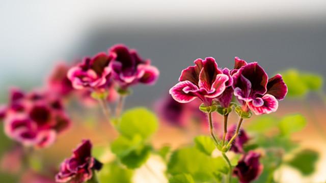 天竺葵为什么不开花
