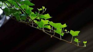 常青藤可以水培吗