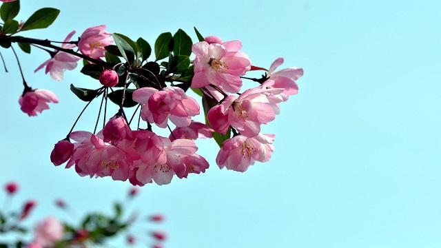 为什么说海棠花不吉利
