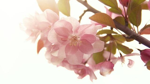 海棠花为什么叫断肠花