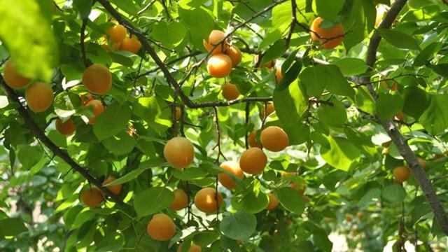 杏树的功效和作用