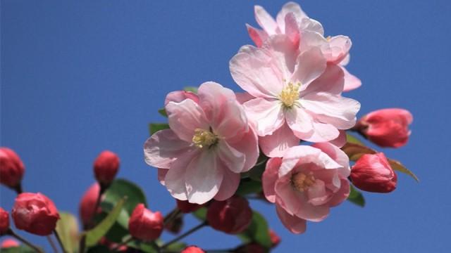 铁海棠和海棠花的区别