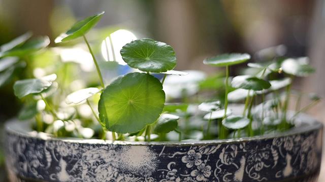 他家的铜钱草竟能养成瀑布,叶子比8个硬币还大,每年丢掉几十斤!