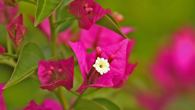 光叶子花和叶子花的区别