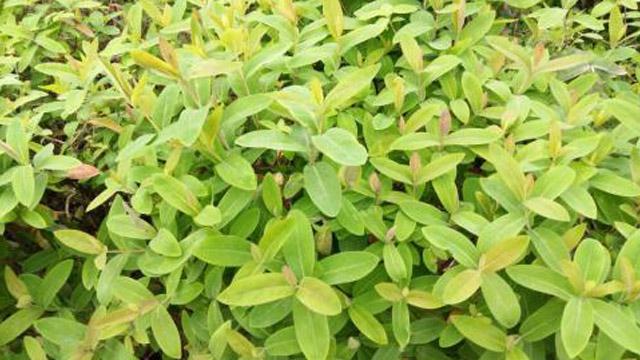 雀舌黄杨和瓜子黄杨的区别