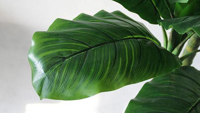 芭蕉叶与香蕉叶的区别