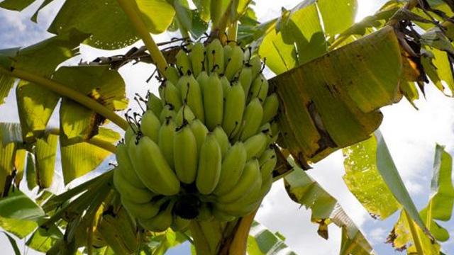 香蕉树和芭蕉树的区别