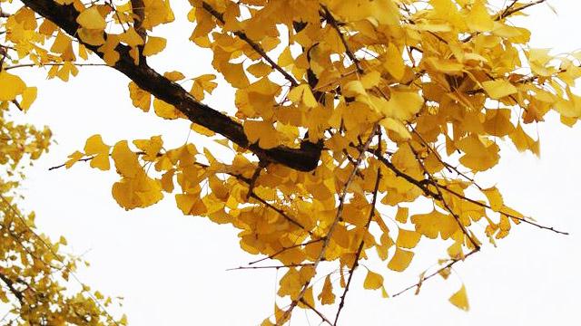 杏树和银杏树的区别