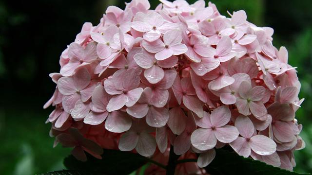 八仙花怎么浇水