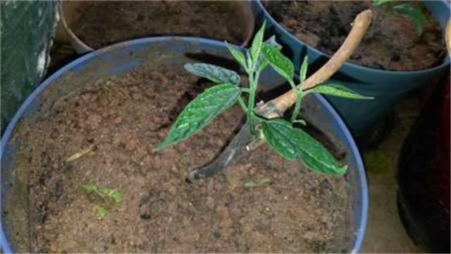 龙吐珠花怎么剪枝繁殖