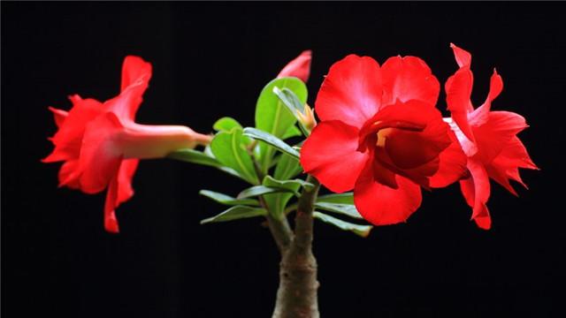沙漠玫瑰有毒吗