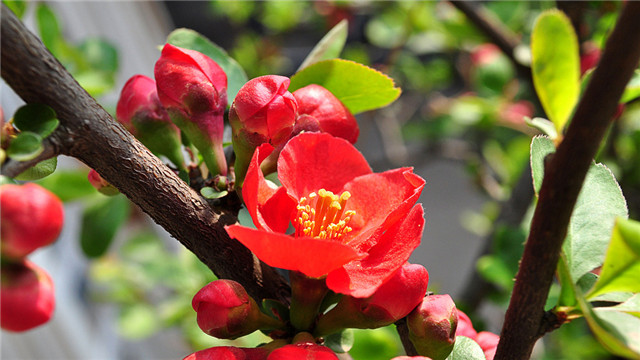 海棠花的寓意和象征
