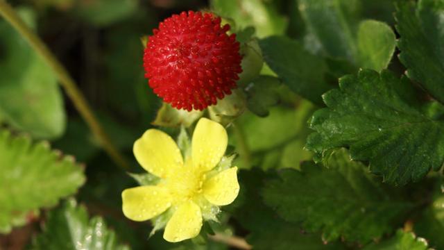 野草莓花和蛇莓的区别