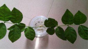 茉莉扦插水培方法