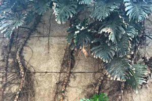 龟背竹叶子有黑斑发黄图片