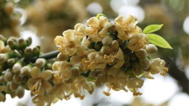 爪哇木棉与美丽异木棉如何区别