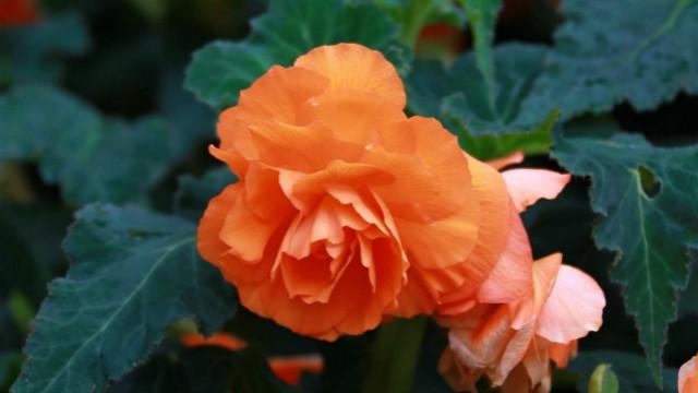 球根海棠和四季海棠的区别