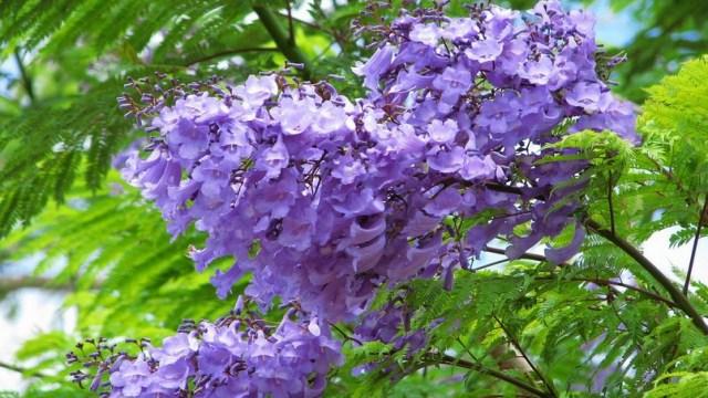 蓝花楹与凤凰木区别