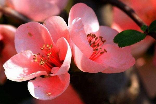海棠花的施肥方法