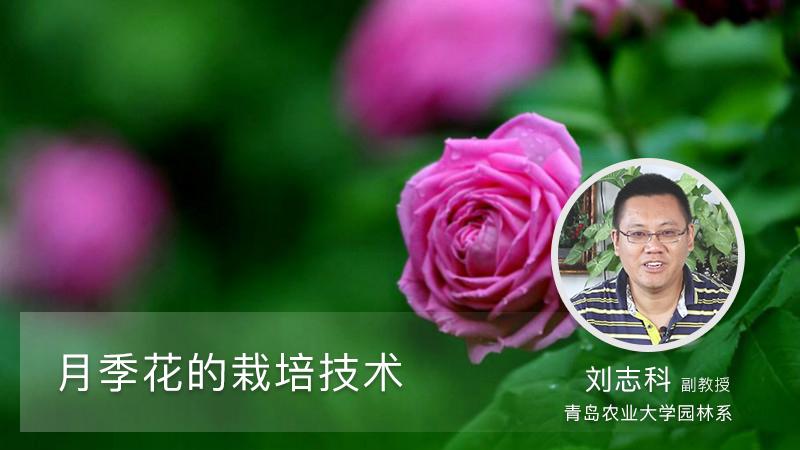 月季花的栽培方法