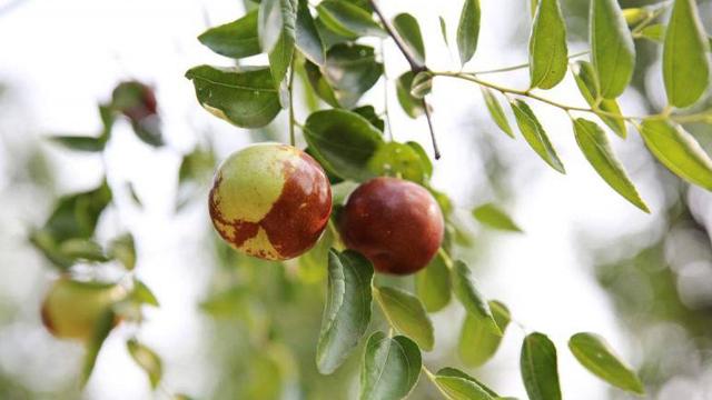 枣树怎么种植
