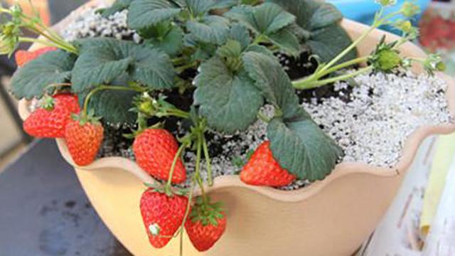 怎么种草莓技巧