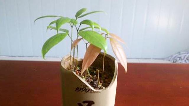 芒果种子怎么种