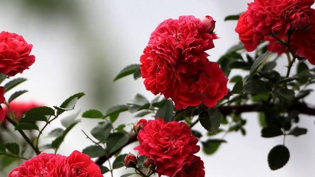 蔷薇花语及代表意义