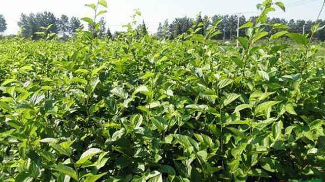 樸樹怎么繁殖,樸樹繁殖流程介紹