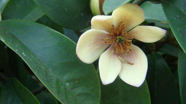 含笑花与白兰花的区别