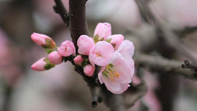 杏花和桃花的区别